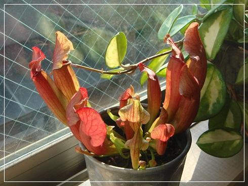 食虫植物サラセニア-20170312.jpg